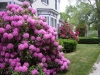 Rhododendron next to Inn