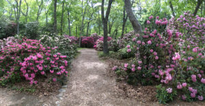 Rhododendron in bloom at The Heritage Museum & Gardens Sandwich MA