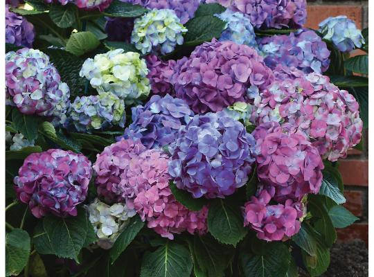 Hydrangeas in bloom at The Heritage Museum & Gardens Sandwich MA