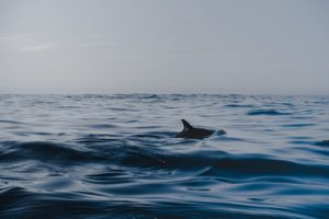 Dorsal fin of a dolphin breaking through the top of the water.