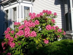 Rhododendron shrub in front of Inn