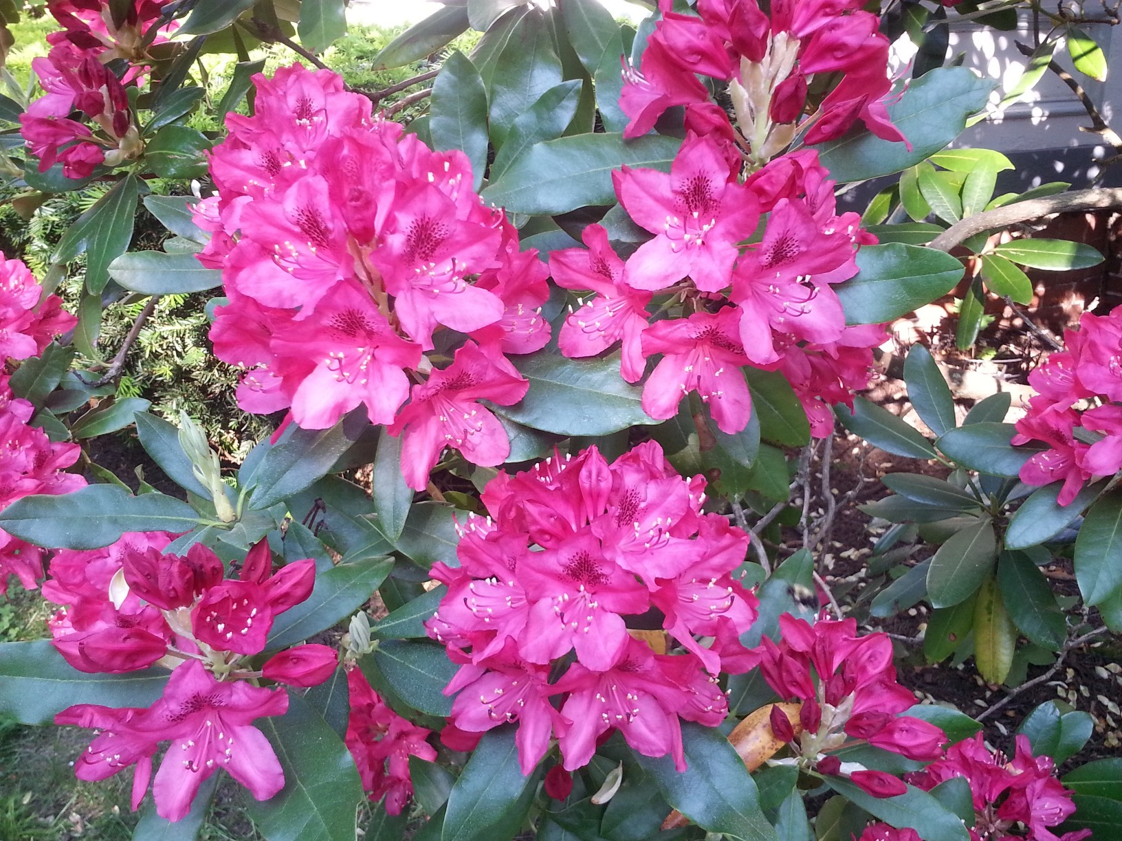 Close-up photo of rhododendron