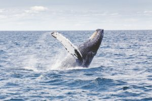 "Humpback whale ""breaching"" in the water off Cape Cod"