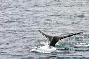 The tail of a whale ready to reenter the water.